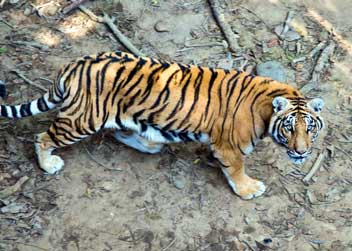tiger-tour-in-nepal